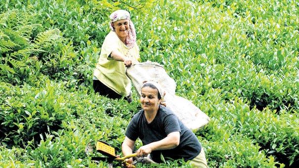 ÇAYKUR'dan en büyük 2. yaş çay alımı